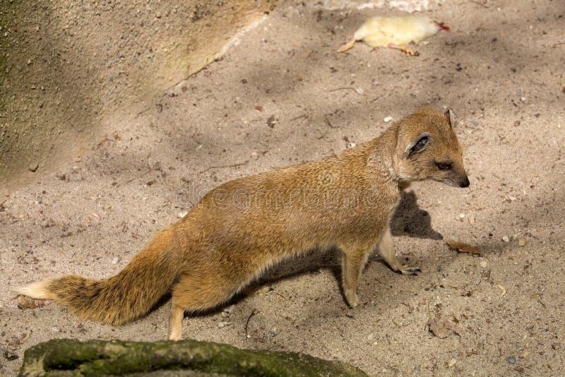 Κίτρινο mongoose, penicillata Cynictis είναι ευκίνητα carnivores και ψάχνει ακόμα τα τρόφιμα στοκ φωτογραφία