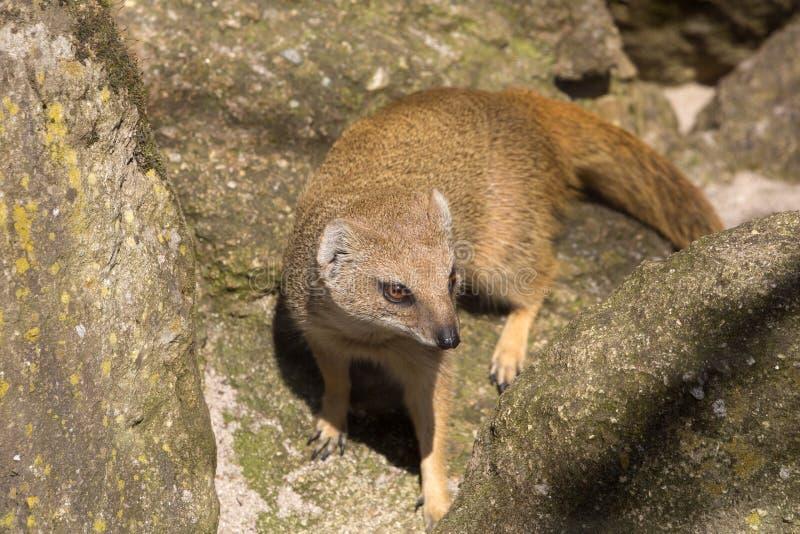 Κίτρινο mongoose, penicillata Cynictis είναι ευκίνητα carnivores και ψάχνει ακόμα τα τρόφιμα στοκ φωτογραφία με δικαίωμα ελεύθερης χρήσης