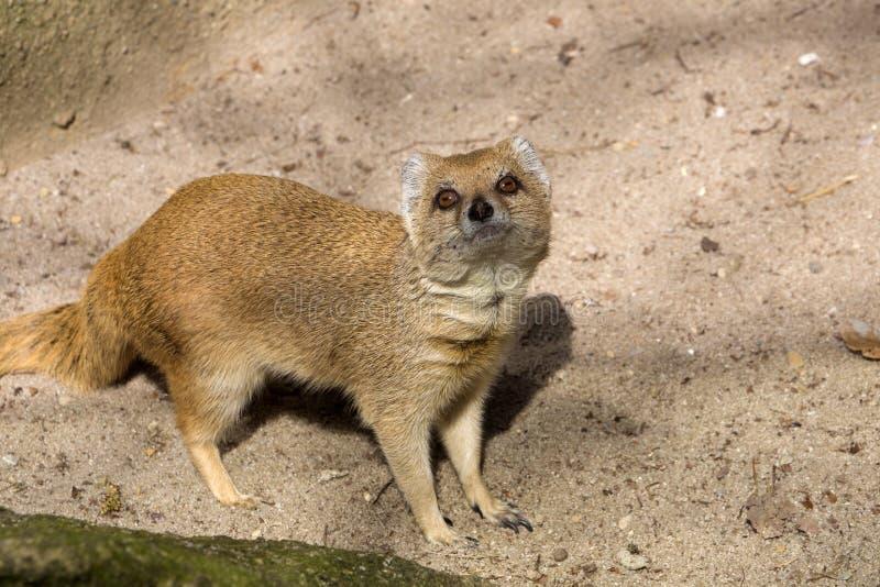 Κίτρινο mongoose, penicillata Cynictis είναι ευκίνητα carnivores και ψάχνει ακόμα τα τρόφιμα στοκ εικόνα με δικαίωμα ελεύθερης χρήσης