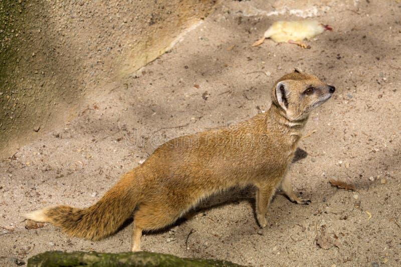Κίτρινο mongoose, penicillata Cynictis είναι ευκίνητα carnivores και ψάχνει ακόμα τα τρόφιμα στοκ φωτογραφίες με δικαίωμα ελεύθερης χρήσης