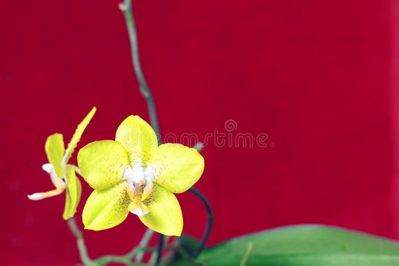 Κίτρινο Orchid στην κόκκινη χρωματισμένη ανασκόπηση στοκ φωτογραφία