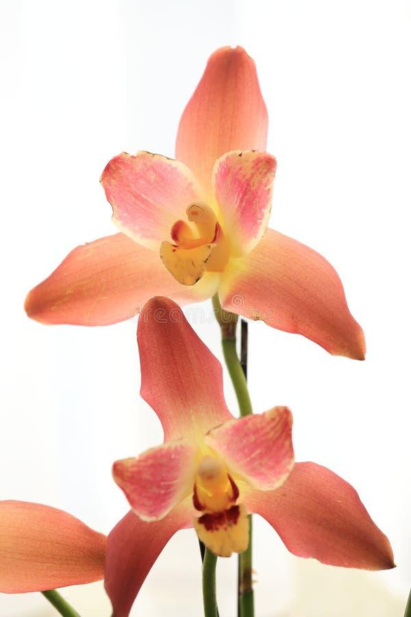 Κίτρινο orchid στοκ φωτογραφίες με δικαίωμα ελεύθερης χρήσης