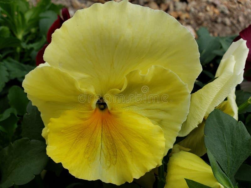 κίτρινο pansy λουλούδι σε έναν κήπο στη χειμερινή εποχή στοκ φωτογραφία