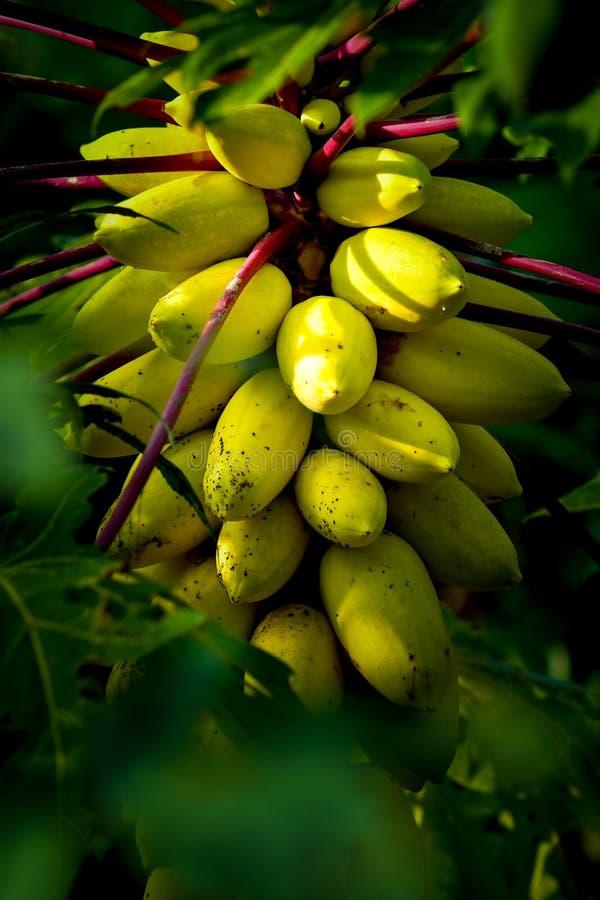 Κίτρινο papaya οπωρωφόρο δέντρο στοκ εικόνα με δικαίωμα ελεύθερης χρήσης