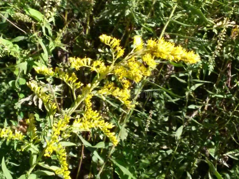 Κίτρινο Sweetclover από τον ποταμό του Τένεσι στοκ εικόνες με δικαίωμα ελεύθερης χρήσης
