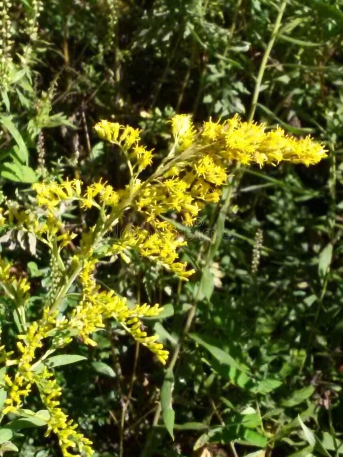 Κίτρινο Sweetclover από τον ποταμό του Τένεσι στοκ φωτογραφία με δικαίωμα ελεύθερης χρήσης
