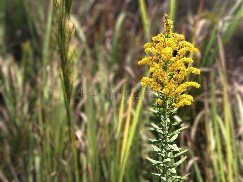Κίτρινο Wildflower στοκ εικόνα με δικαίωμα ελεύθερης χρήσης
