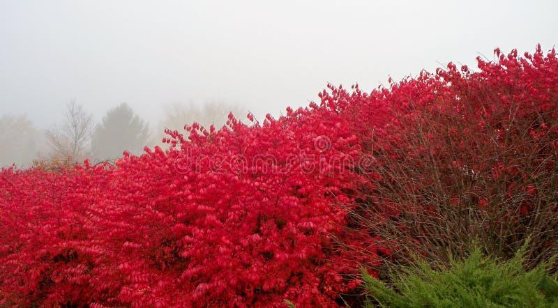 Καίγοντας θάμνος, misty πρωί στοκ εικόνα