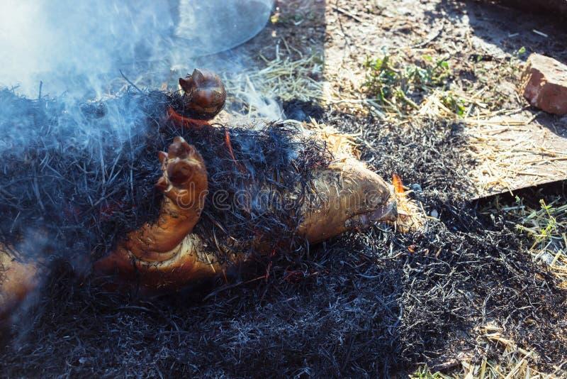 Καίγοντας τρίχα χοίρων μακριά με το ξηρό άχυρο πριν από τη σφαγή στοκ εικόνες