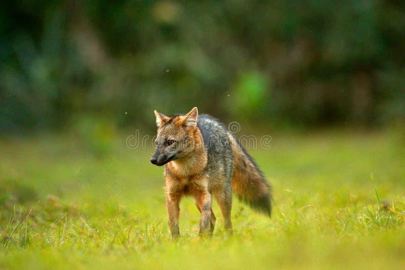 Καβούρι-κατανάλωση της αλεπούς, της thous, δασικής αλεπούς Cerdocyon, της ξύλινου αλεπούς ή Maikong Άγριο σκυλί στο βιότοπο φύσης στοκ εικόνες με δικαίωμα ελεύθερης χρήσης