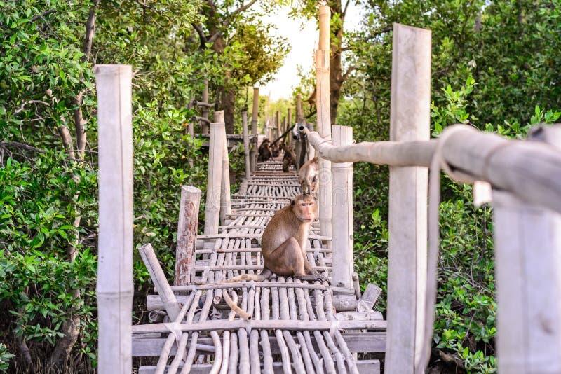 Καβούρι-κατανάλωση macaque πιθήκων στη γέφυρα μπαμπού στο δάσος μαγγροβίων στοκ φωτογραφία