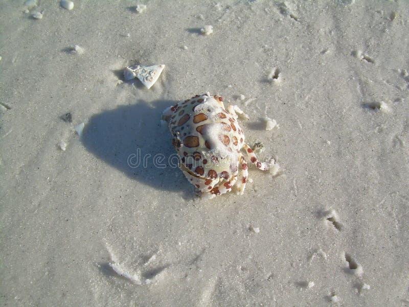 Καβούρι κιβωτίων βαμβακερού υφάσματος στην άσπρη άμμο στοκ εικόνες με δικαίωμα ελεύθερης χρήσης