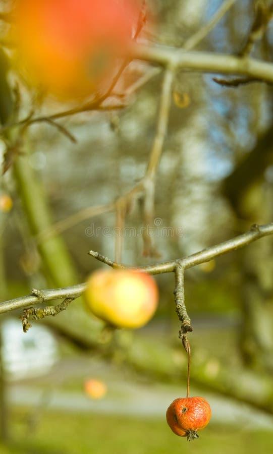 καβούρι μήλων στοκ φωτογραφία με δικαίωμα ελεύθερης χρήσης