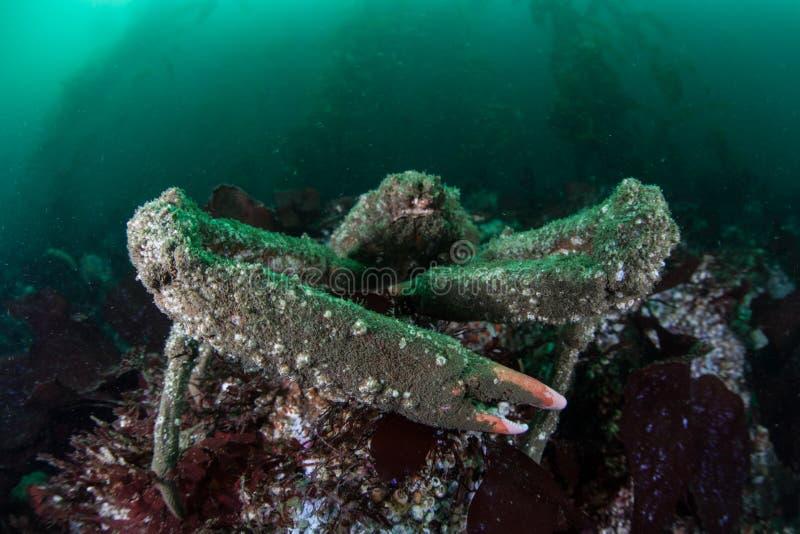 Καβούρι προβάτων Kelp στο δάσος στοκ εικόνες με δικαίωμα ελεύθερης χρήσης