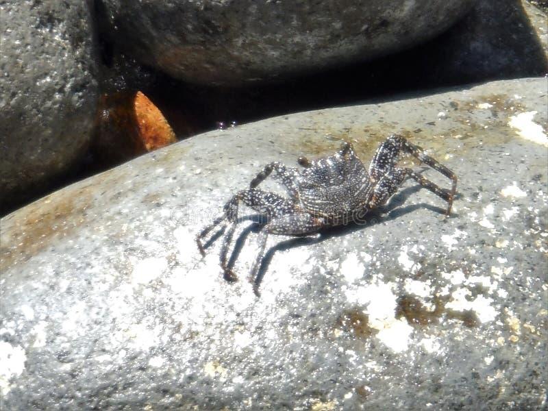 Καβούρι σε έναν βράχο στη Δομίνικα στοκ εικόνες με δικαίωμα ελεύθερης χρήσης