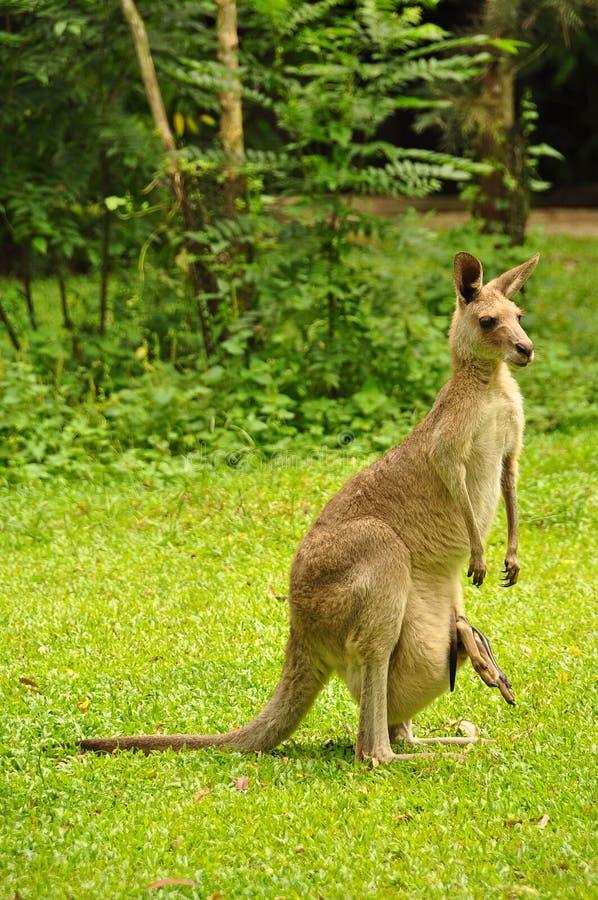 Καγκουρό από την Αυστραλία στοκ εικόνα