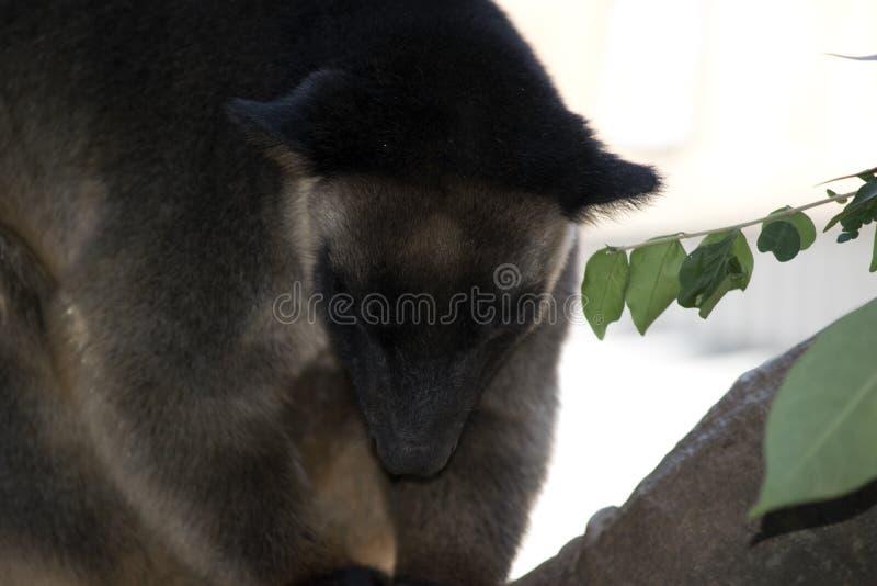 Καγκουρό δέντρων Lumholtz σε ένα δέντρο στοκ φωτογραφία με δικαίωμα ελεύθερης χρήσης