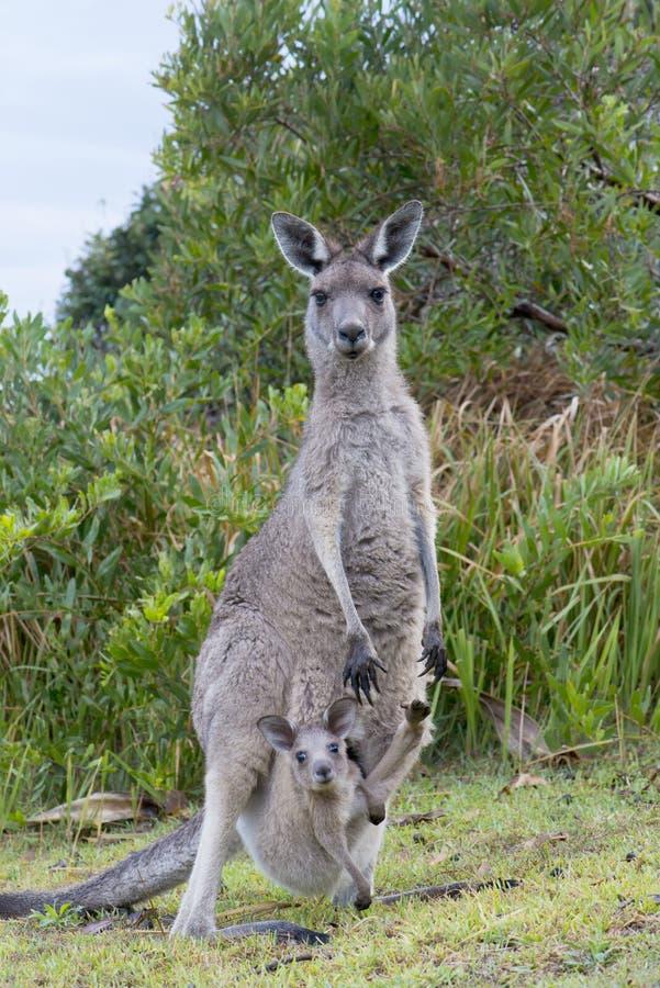 Καγκουρό με ένα μωρό Joey στη σακούλα στοκ φωτογραφία
