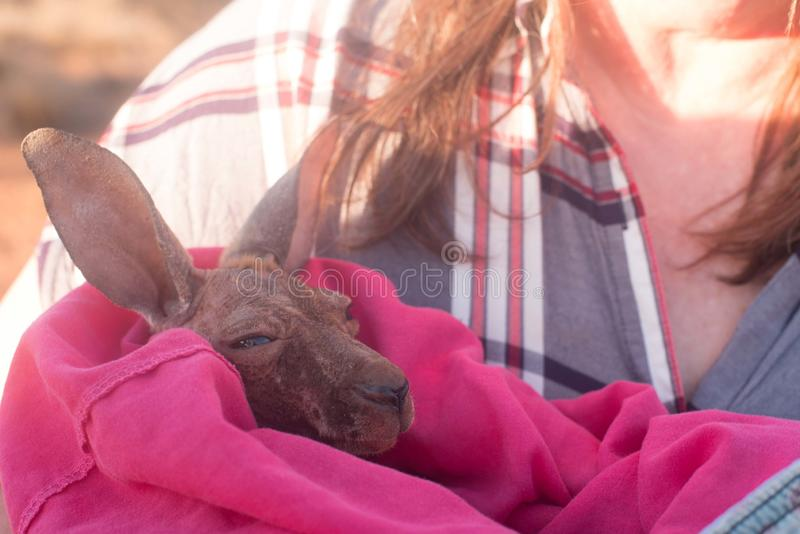 Καγκουρό μωρών στο κάλυμμα στοκ φωτογραφία με δικαίωμα ελεύθερης χρήσης