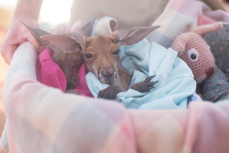 Καγκουρό μωρών στο κάλυμμα στοκ εικόνες
