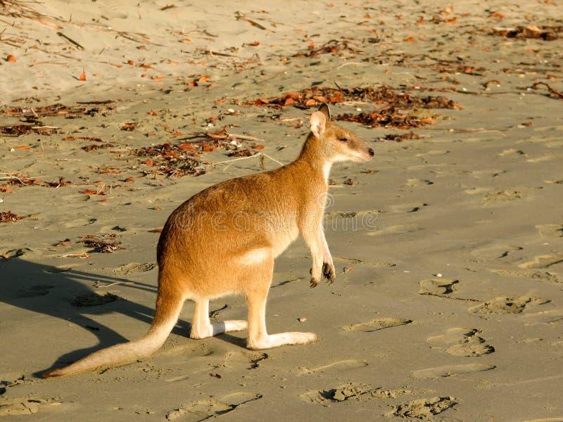 Καγκουρό που στηρίζεται σε μια παραλία στοκ εικόνες