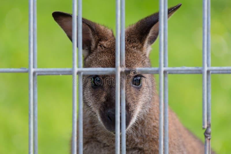 Καγκουρό στο ζωολογικό κήπο στοκ φωτογραφία με δικαίωμα ελεύθερης χρήσης