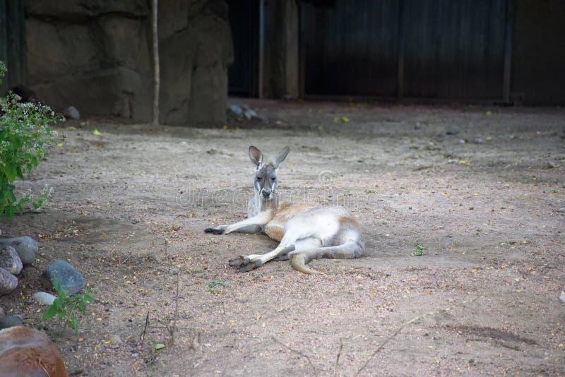 Καγκουρό του Joey από την Αυστραλία στοκ εικόνες με δικαίωμα ελεύθερης χρήσης