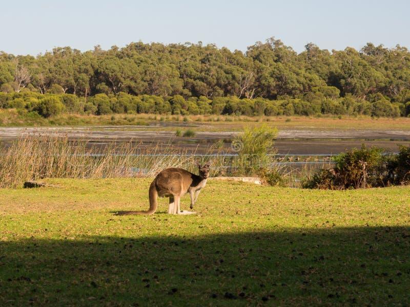Καγκουρό, δυτική Αυστραλία στοκ εικόνα