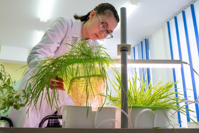 2019-09-01, Καζακστάν, Kostanay hydroponics Ένας νέος θηλυκός εργαστηριακός τεχνικός εξετάζει τις ασιατικές εγκαταστάσεις και τις στοκ εικόνα