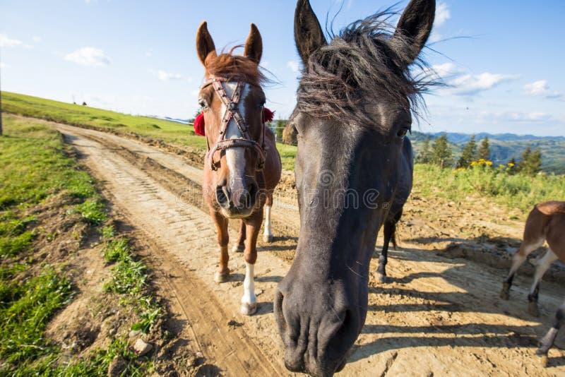 Καθαρής φυλής άλογα στη φύση Ζαλίζοντας Carpathians Φύση στοκ φωτογραφίες