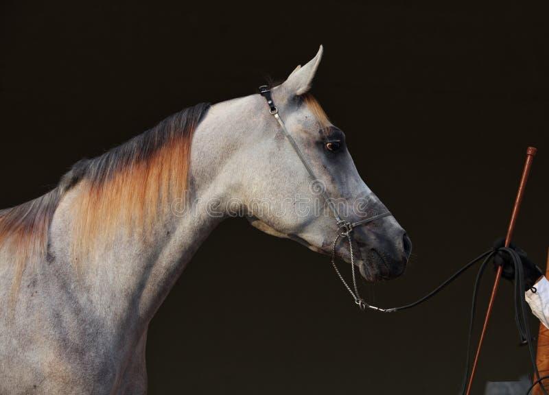 Καθαρής φυλής αραβικό άλογο, πορτρέτο μιας γκρίζας φοράδας στο σκοτεινό υπόβαθρο στοκ εικόνες