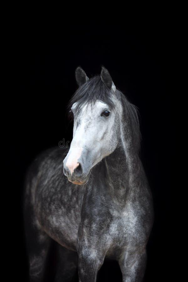 Καθαρής φυλής αραβικό άλογο που απομονώνεται στο μαύρο backgtound στοκ εικόνα με δικαίωμα ελεύθερης χρήσης