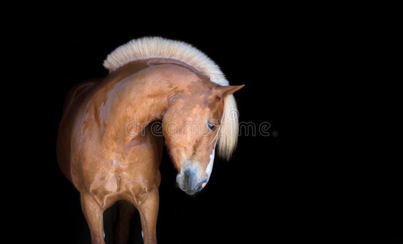 Καθαρής φυλής αραβικό άλογο που απομονώνεται στο μαύρο backgtound στοκ φωτογραφίες με δικαίωμα ελεύθερης χρήσης