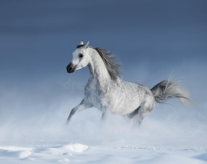 Καθαρής φυλής γκρίζο αραβικό άλογο που καλπάζει πέρα από το λιβάδι στο χιόνι στοκ εικόνες