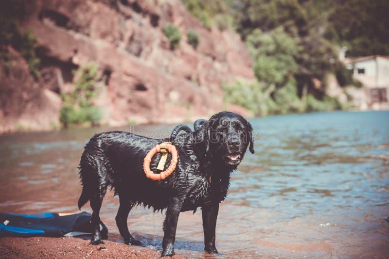 Καθαρή φυλή σκυλιών του Λαμπραντόρ στην κατάρτιση νερού στοκ εικόνα