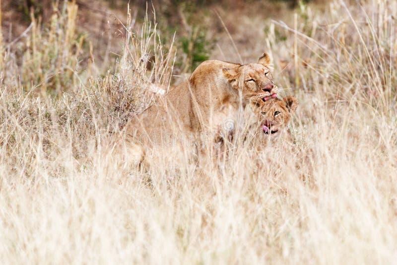 Καθαρισμός λιονταρινών και Cub μετά από το γεύμα στοκ εικόνες