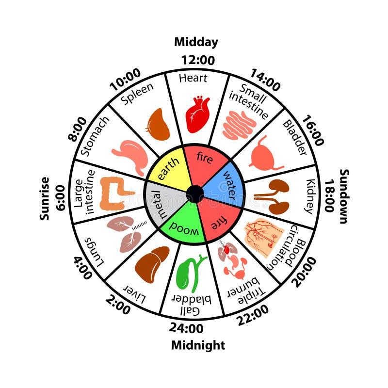 Καθημερινό Biorhythm των εσωτερικών οργάνων απεικόνιση αποθεμάτων