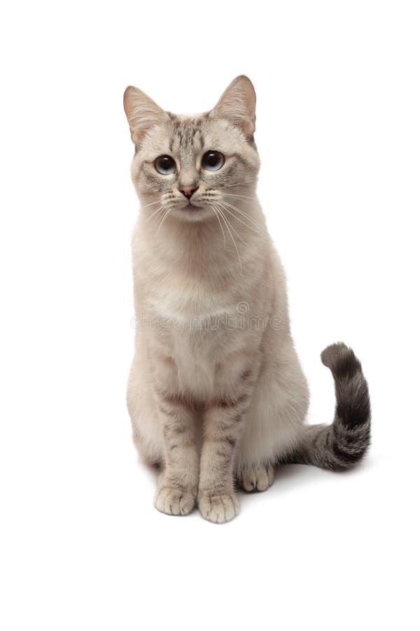 Καθισμένο ταϊλανδικό τιγρέ σημείο ` σφραγίδων χρώματος ` γατών στο άσπρο υπόβαθρο στοκ φωτογραφίες