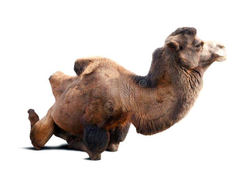 Καθμένος βακτριανή καμήλα στοκ εικόνα με δικαίωμα ελεύθερης χρήσης