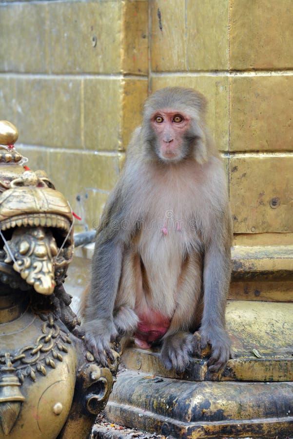 Καθμένος macaque πίθηκος στοκ φωτογραφίες