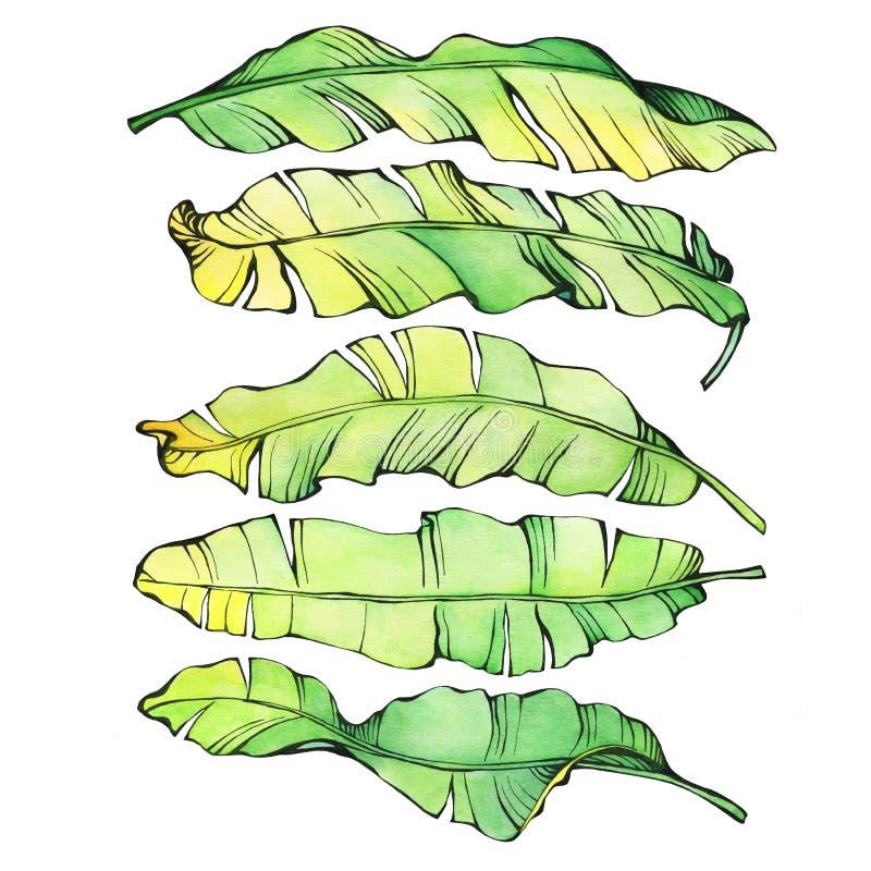Καθορισμένα εξωτικά τροπικά πράσινα και κίτρινα φύλλα μπανανών ελεύθερη απεικόνιση δικαιώματος