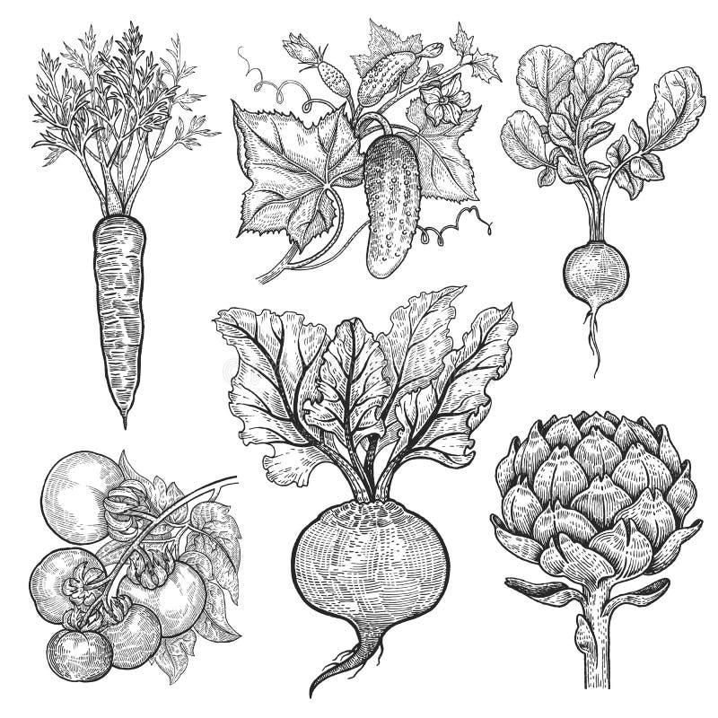 καθορισμένα λαχανικά Εκλεκτής ποιότητας χάραξη ελεύθερη απεικόνιση δικαιώματος