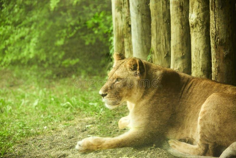 Καθορισμός λιονταριών Λιονταρίνα που βρίσκεται στο πάτωμα στοκ φωτογραφία με δικαίωμα ελεύθερης χρήσης