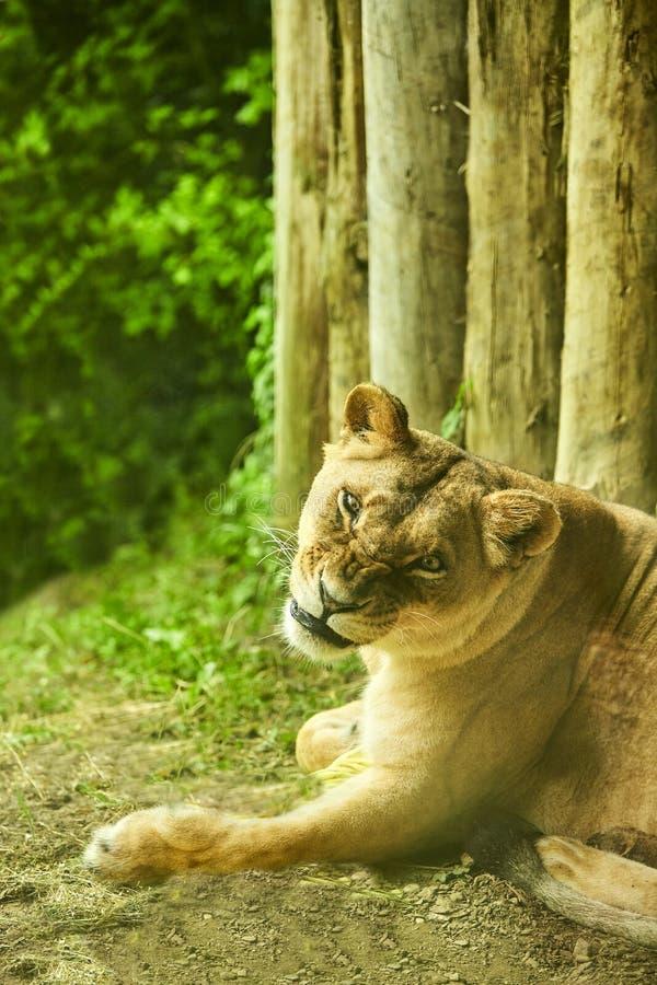 Καθορισμός λιονταριών Λιονταρίνα που βρίσκεται στο πάτωμα στοκ εικόνες με δικαίωμα ελεύθερης χρήσης