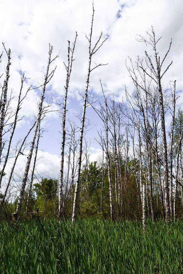 κακή οικολογία Οι ξηροί κορμοί δέντρων στέκονται κατακόρυφα υγρότοποι στοκ φωτογραφίες