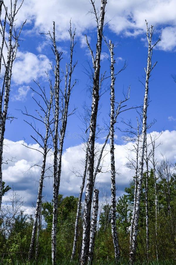 κακή οικολογία Οι ξηροί κορμοί δέντρων στέκονται κατακόρυφα υγρότοποι στοκ φωτογραφία με δικαίωμα ελεύθερης χρήσης