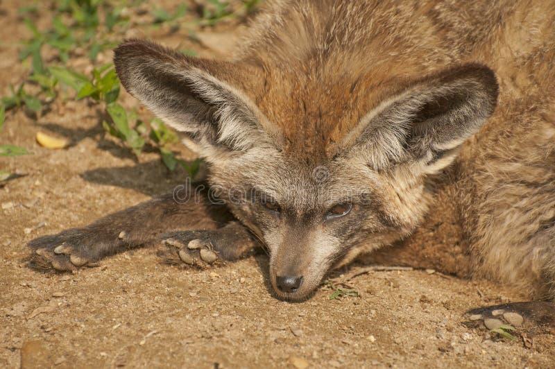 Κακός-έχουσα νώτα αλεπού στοκ εικόνες