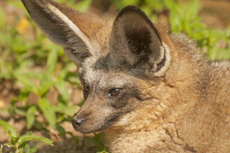 Κακός-έχουσα νώτα αλεπού στοκ εικόνες με δικαίωμα ελεύθερης χρήσης