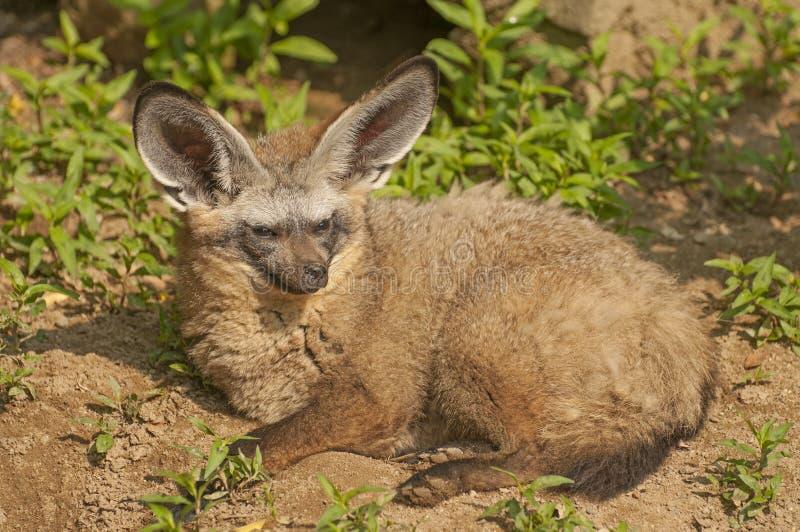 Κακός-έχουσα νώτα αλεπού στοκ φωτογραφία με δικαίωμα ελεύθερης χρήσης