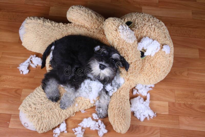 Κακό άτακτο παιχνίδι βελούδου schnauzer σκυλί στοκ φωτογραφία με δικαίωμα ελεύθερης χρήσης